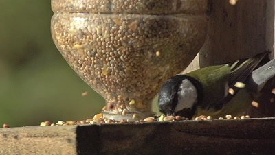 Great Tit, parus major, Adult eating Food at Trough, Normandy, Slow motion