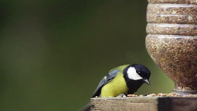 Great Tit, parus major, Adult eating Food at Trough, in Flight, Taking off, Normandy, Slow motion