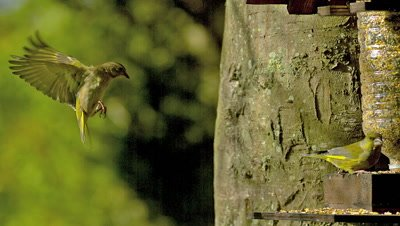 European Greenfinch, carduelis chloris, Adult eating Food at Trough, in Flight Normandy, Slow motion