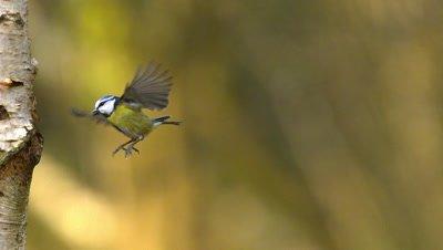 Blue Tit, parus caeruleus, Adult in Flight, Normandy, Slow motion