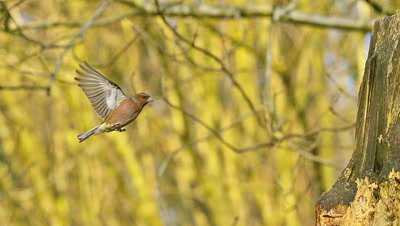 European Robin, erithacus rubecula, Male in Flight, Normandy, Slow motion