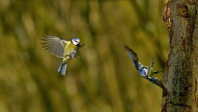 Blue Tit, parus caeruleus, Adults in Flight, Landing and Taking off from Tree Trunk, Normandy, Slow motion