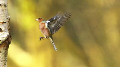 Common Chaffinch, fringilla coelebs, Male in Flight, Flapping Wings near Tree Trunk, Normandy in France, Slow motion