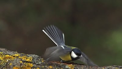 Great Tit, parus major, Adult Flapping Wings and Taking off from Branch, Normandy, Slow motion