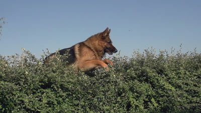 Domestic Dog, German Shepherd Dog, Male jumping above Edge, Normandy, Slow motion