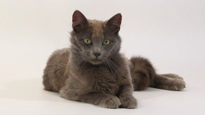 Chartreux Domestic Cat, Adult Laying against White Background, Looking around, Real Time