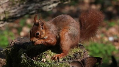 Red Squirrel, sciurus vulgaris, Adult looking for Hazelnut in Tree Stump, Normandy in France, Real Time