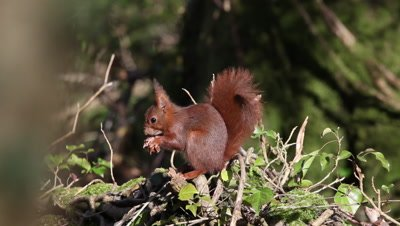 Red Squirrel, sciurus vulgaris, Adult Eating Hazelnut, Normandy in France, Real Time