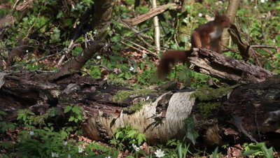 Red Squirrel, sciurus vulgaris, Adult Running on Branch, Normandy in France, Real Time