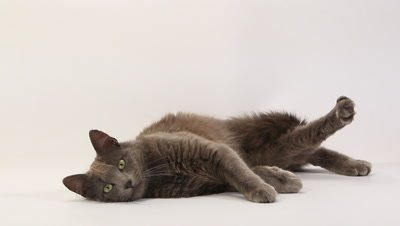Chartreux Domestic Cat, Adult Laying against White Background, Real Time