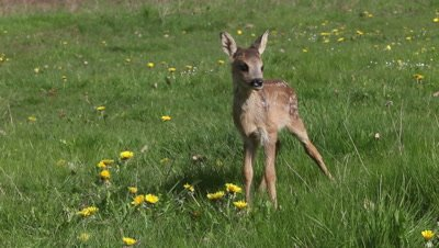 Roe Deer, capreolus capreolus, Fawn Walking in Meadow with Yellow Flowers, Normandy in France, Real Time