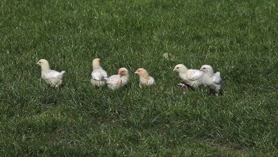 Chicks standing on Grass, Domestic Chicken, Normandy in France, Real Time