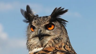 European Eagle Owl, asio otus, Portrait of Adult Looking around, Real Time