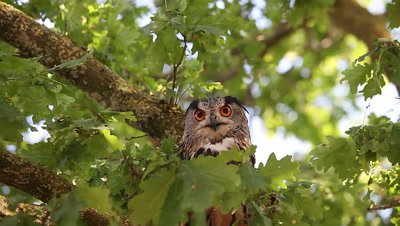 European Eagle Owl, asio otus, Adult standing on Tree, Normandy in France, Real Time