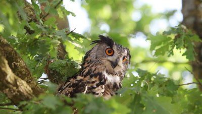 European Eagle Owl, asio otus, Adult standing on Tree, Looking around, Normandy in France, Real Time