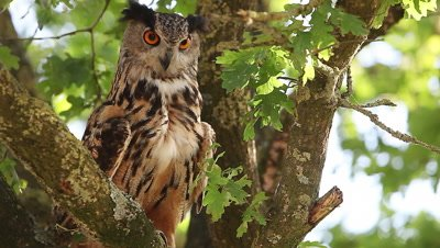 European Eagle Owl, asio otus, Adult standing on Tree, Looking aroundNormandy in France, Real Time