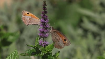 Gatekeeper Butterfly, pyronia tithonus, Adult Feeding on Buddleja or Summer Lilac, Normandy in France, Real Time