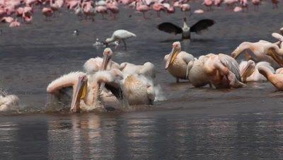 Great White Pelican, pelecanus onocrotalus, Group having Bath, Colony at Nakuru Lake in Kenya, Real Time