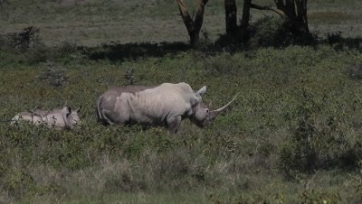 Black Rhinoceros, diceros bicornis, Female with Calf, Nakuru Park in Kenya, Real Time