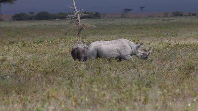Black Rhinoceros, diceros bicornis, Adult disturbing Buffalos, Nakuru Park in Kenya, Real Time