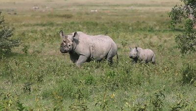 Black Rhinoceros, diceros bicornis, Female with Calf walking, Nakuru Park in Kenya, Real Time