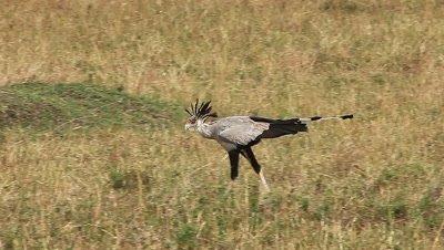 Secretary Bird, sagittarius serpentarius, Adult walking through Savanna, Looking for Food, Nakuru Park in Kenya, Real Time