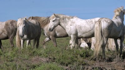 Camargue Horse, Herd Walking, Saintes Marie de la Mer in The South of France, Real Time