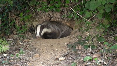 European Badger, meles meles, Adult standing at Den Entrance, Normandy, Real Time