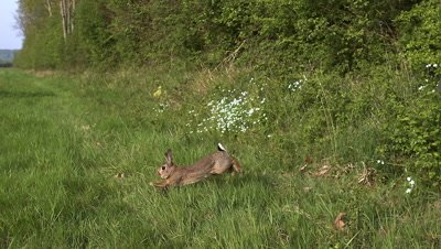 European Rabbit or Wild Rabbit, oryctolagus cuniculus, Adult running through Meadow, Slow Motion
