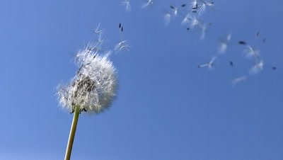 Common Dandelion, taraxacum officinale, seeds from 'clocks' being blown and dispersed by wind against blue Sky, Slow motion