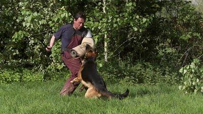 Domestic Dog, German Shepherd Dog, Adult running on Grass, Dog Attack Trainer work, Slow motion