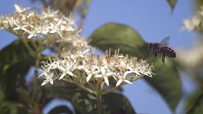European Honey Bee, apis mellifera, Adult flying and collecting nectar from white Flower, Slow motion