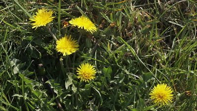 Common Dandelion, taraxacum officinale, Flowering, opening in Meadow, Time Laps