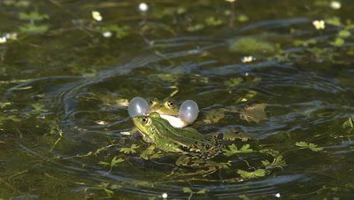 Edible Frog, rana esculenta, Males Leaping, Male calling with inflated vocal sacs, Pond in Normandy in France, Slow Motion