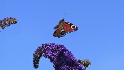 Peacock Butterfly, inachis io, Adult in Flight, Taking off from Buddleja or Summer Lilac, buddleja davidii, Normandy in France, Slow Motion
