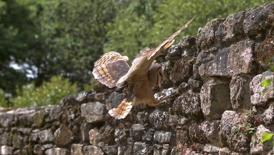 Barn Owl, tyto alba, Adult in Flight, Entering Hole in a Wall of stone, Normandy, Slow Motion