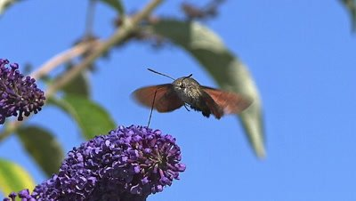 Hummingbird Hawkmoth,macroglossum stellatarum, Adult in Flight, Flapping Wings and Feeding on Buddleja or Summer Lilac, buddleja davidii, Normandy in France, Slow Motion