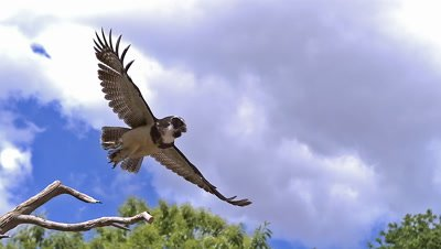 Spectacled Owl, pulsatrix perspicillata, Adult in Flight, Taking off from Branch, Slow Motion