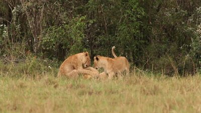 African Lion, panthera leo, Group standing near Bush, Cub playing, Samburu Park in Kenya, Real Time