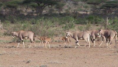 Beisa Oryx, oryx beisa, Group with Adults and Calf walking through Savanna, Masai Mara Park in Kenya, Real Time