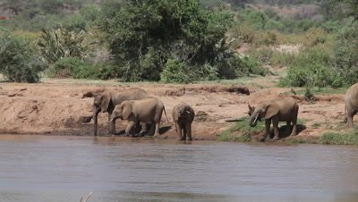 African Elephant, loxodonta africana, Group drinking at River, Samburu Park in Kenya, Real Time