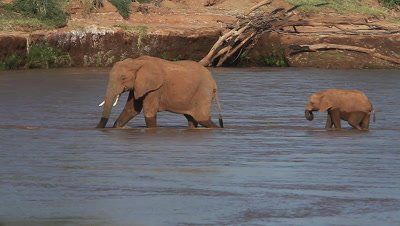 African Elephant, loxodonta africana, Adult and Calf crossing River, Samburu Park in Kenya, Real Time