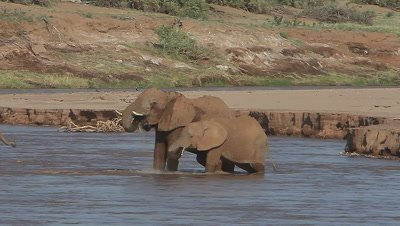 African Elephant, loxodonta africana, Adult and Calf crossing River, Spraying Water, Samburu Park in Kenya, Real Time