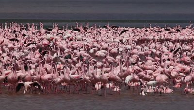 Lesser Flamingo, phoenicopterus minor, Group moving in Water, Colony at Bogoria Lake in Kenya, Real Time