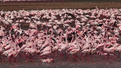 Lesser Flamingo, phoenicopterus minor, Group having Bath, Colony at Bogoria Lake in Kenya, Real Time