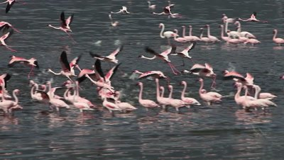 Lesser Flamingo, phoenicopterus minor, Group moving in Water, Some in Flight, Colony at Bogoria Lake in Kenya, Real Time