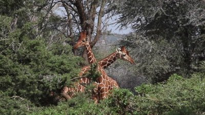 Reticulated Giraffe, giraffa camelopardalis reticulata, Adults fighting in Bush, Samburu Park in Kenya, Real Time