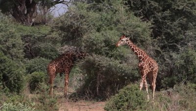 Reticulated Giraffe, giraffa camelopardalis reticulata, Adults walking in Bush, Samburu Park in Kenya, Real Time