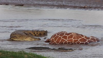 Nile Crocodile, crocodylus niloticus, Adults on a Kill, a Reticulatd Giraffe drown in River, Samburu Park in Kenya, Real Time