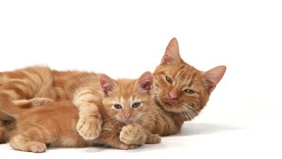 Red Tabby Domestic Cat, Female with Kitten against White Background, Slow motion